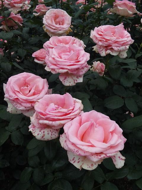 薔薇の花☆